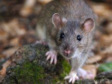 Rat 1
